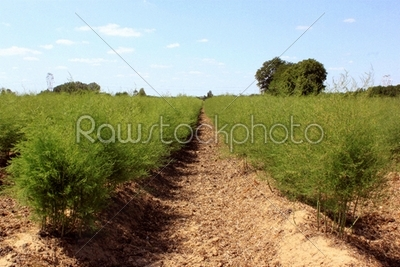 stock photo: asparagus field-Raw Stock Photo ID: 20739