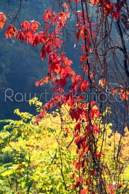 stock photo: autumn maple leaves background-Raw Stock Photo ID: 28071