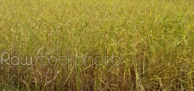 stock photo: autumn rice field-Raw Stock Photo ID: 20082