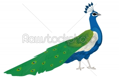 stock vector: beautiful peacock-Raw Stock Photo ID: 24104
