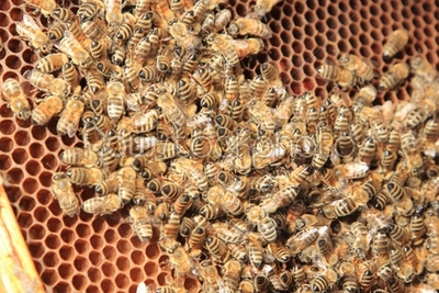 stock photo: bees inside the hive -Raw Stock Photo ID: 12967