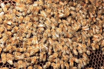 stock photo: bees inside the hive -Raw Stock Photo ID: 12970