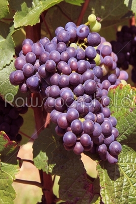 stock photo: bunch of grapes-Raw Stock Photo ID: 18763