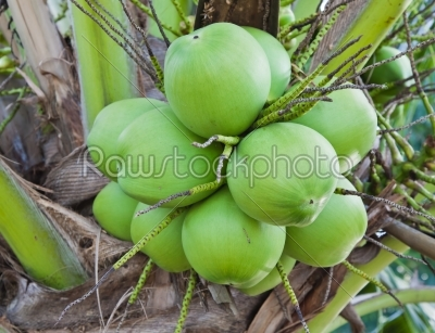 stock photo: coconut bunch-Raw Stock Photo ID: 32699