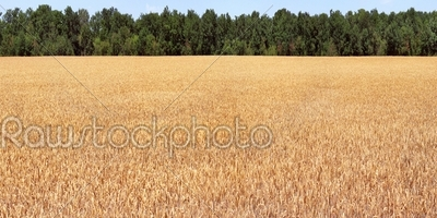 stock photo: field wheat-Raw Stock Photo ID: 25408