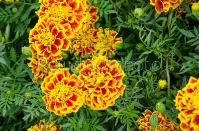 stock photo: french marigold flower-Raw Stock Photo ID: 31418