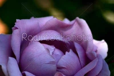 stock photo: lavender morning-Raw Stock Photo ID: 29782