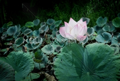 stock photo: lotus aquatic flora on natural blur background -Raw Stock Photo ID: 31195