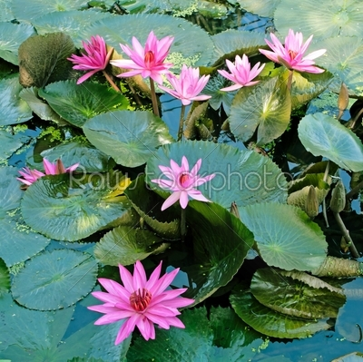 stock photo: lotus flower-Raw Stock Photo ID: 26063