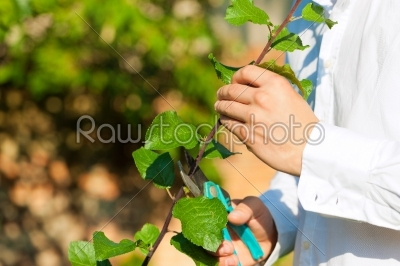 stock photo: man is cutting fruit tree with trimmer-Raw Stock Photo ID: 42316
