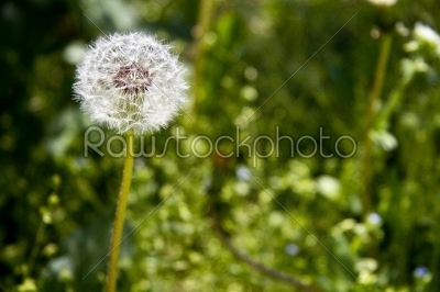 stock photo: one dandelion on green background-Raw Stock Photo ID: 28145