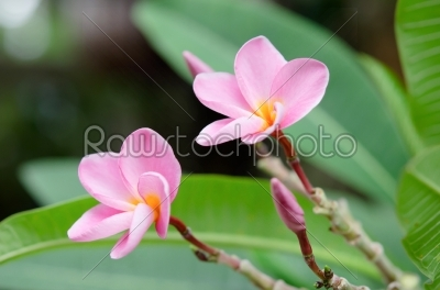 stock photo: plumeria-Raw Stock Photo ID: 19305