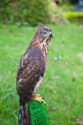 stock photo: portrait of shikra accipiter badius-Raw Stock Photo ID: 32666