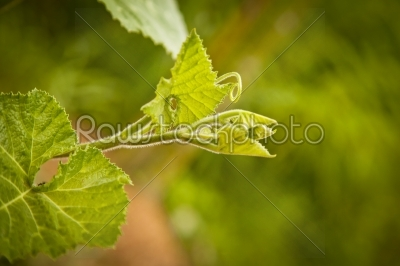 stock photo: pumpkin leaves and vine-Raw Stock Photo ID: 31464
