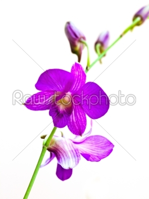 stock photo: purple orchid on white-Raw Stock Photo ID: 31334