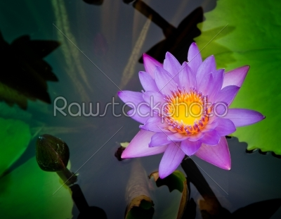 stock photo: purple water lilly-Raw Stock Photo ID: 32518