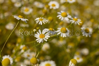stock photo: some feverfew are soaking up the sunlight-Raw Stock Photo ID: 28455