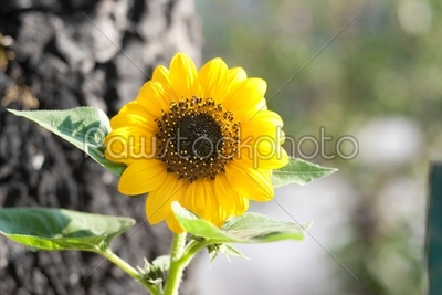 stock photo: sunflower-Raw Stock Photo ID: 23810