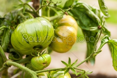stock photo: tomato bush-Raw Stock Photo ID: 39902