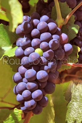 stock photo: vine-Raw Stock Photo ID: 22387