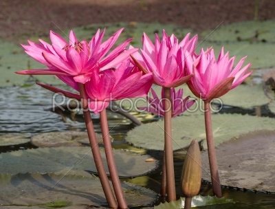 stock photo: water lily-Raw Stock Photo ID: 31446