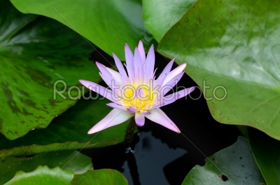 stock photo: waterlilies-Raw Stock Photo ID: 19915