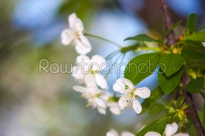 stock photo: white flowers of the cherry blossoms on a spring day -Raw Stock Photo ID: 22659