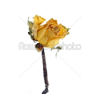 stock photo: yellow dead rose-Raw Stock Photo ID: 28166