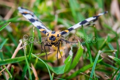 stock photo: abraxas grossulariata butterfly flying over grass-Raw Stock Photo ID: 70221