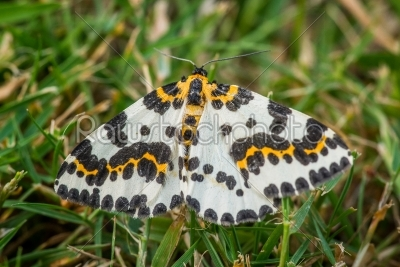 stock photo: abraxas grossulariata butterfly in the grass-Raw Stock Photo ID: 70220
