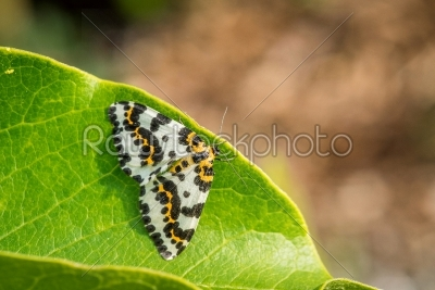 stock photo: abraxas grossulariata butterfly sitting on a leaf-Raw Stock Photo ID: 70222