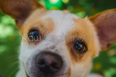 stock photo: adorable jack russell terrier dog in the park looking at camera-Raw Stock Photo ID: 75091