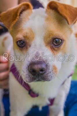 stock photo: adorable jack russell terrier dog in the park looking at camera-Raw Stock Photo ID: 75093