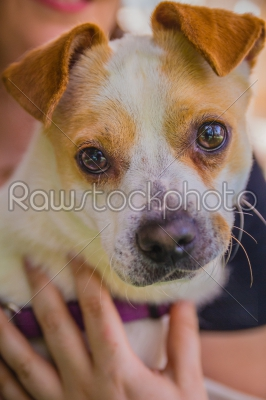 stock photo: adorable jack russell terrier dog in the park looking at camera-Raw Stock Photo ID: 75094