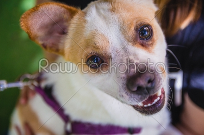 stock photo: adorable jack russell terrier dog in the park looking at camera-Raw Stock Photo ID: 75095
