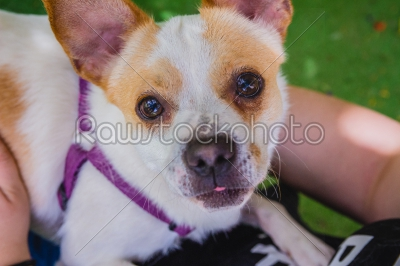 stock photo: adorable jack russell terrier dog in the park looking at camera-Raw Stock Photo ID: 75098