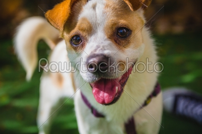 stock photo: adorable jack russell terrier dog in the park looking at camera-Raw Stock Photo ID: 75100