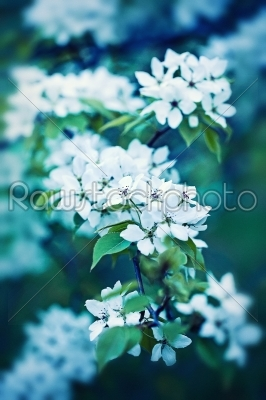 stock photo: apple flowers bloom-Raw Stock Photo ID: 68443