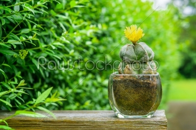 stock photo: astrophytum myriostigma cactus with a yellow flower-Raw Stock Photo ID: 69787