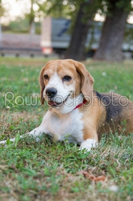 stock photo: beagle dog lying on the grass in the park and watching something-Raw Stock Photo ID: 52450