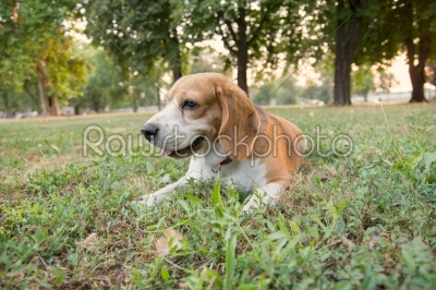 stock photo: beagle dog lying on the grass in the park-Raw Stock Photo ID: 52451