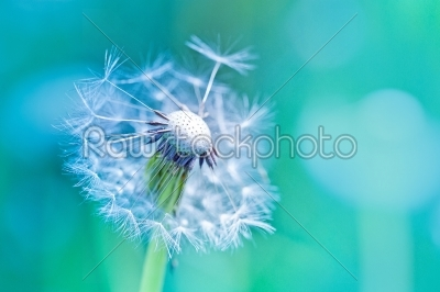 stock photo: beautiful white dandelion with seeds on blue background-Raw Stock Photo ID: 68488