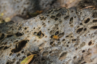 stock photo: bee drinking water from drops on a perforated rock-Raw Stock Photo ID: 75145