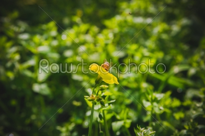 stock photo: bee on yellow flower-Raw Stock Photo ID: 75148