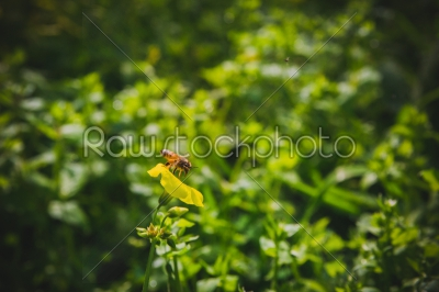 stock photo: bee on yellow flower-Raw Stock Photo ID: 75149