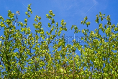 stock photo: beech leaves on blue background-Raw Stock Photo ID: 67745