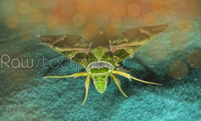 stock photo: big animal seeming moth sitting on a green cloth-Raw Stock Photo ID: 67182