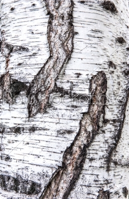 stock photo: birch bark texture-Raw Stock Photo ID: 55738