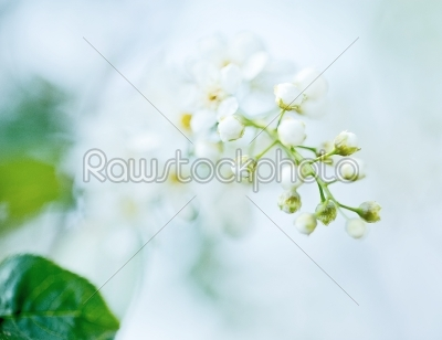 stock photo: bird cherry tree in blossom-Raw Stock Photo ID: 68439