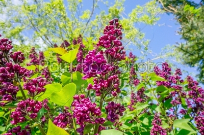 stock photo: buddleja bush in a garden-Raw Stock Photo ID: 68081